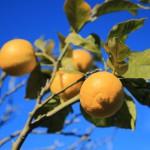 Hier mal noch ein richtiges Bild unseres Zitronenbaums.