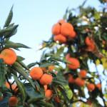 ...Und des Mandarinenbaums