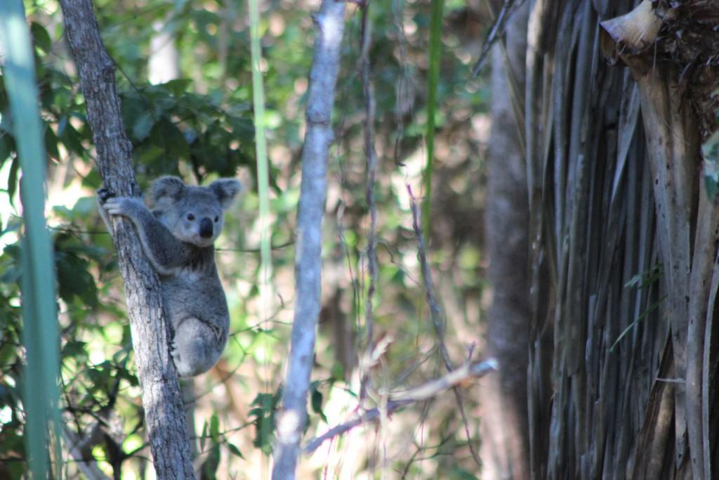Ein Eukalyptusbaum. Leider ein wenig von diesem Tier verdeckt.