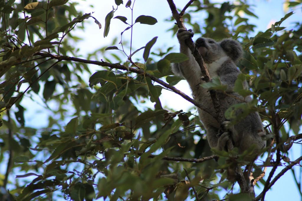 Hier seht ihr den Eukalyptusbaum noch mal besser.