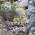 Hihi, ein Wallaby!