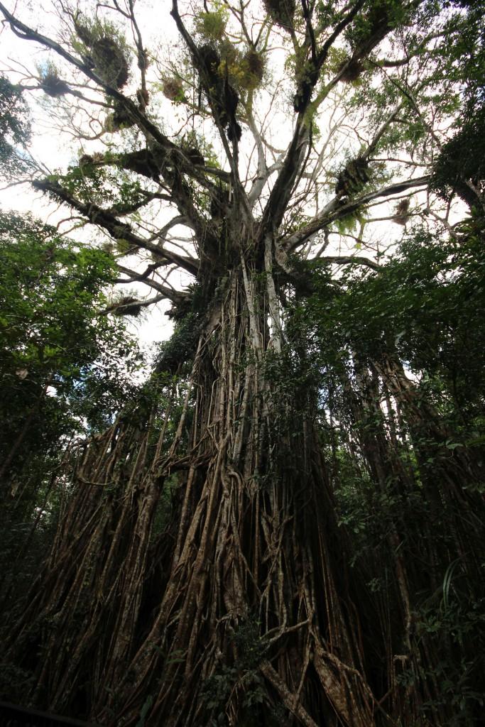 Hier, das ist ein riesiger Feigenbaum!